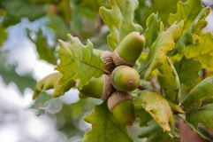 Acorns on the branch Royalty Free Stock Images