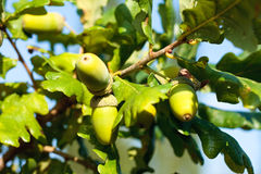Acorns on branch Royalty Free Stock Photo