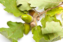 Acorns on a branch top view Stock Photography