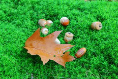 Acorns. And brown leaf on the green moss Stock Image