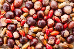 Acorns, chestnuts and dogrose Stock Images