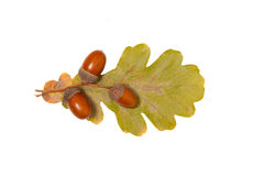 Acorns closeup Stock Images