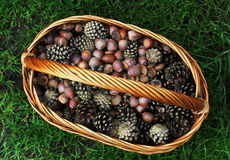 Acorns and cones in the wicker basket, autumn Royalty Free Stock Images