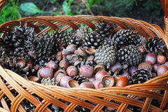 Acorns and cones in the wicker basket Stock Images