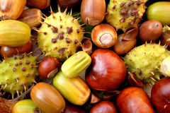 Acorns, conkers, horse chestnut cases and beechnuts Royalty Free Stock Photography
