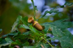 Acorns. Contain 37 percent starch, vegetable oils, tannins, carbohydrates and more. In spite of considerable nutritional value, human diet has been used only as stock photo