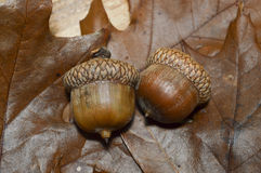 2 Acorns Couple with Oak Leaves. Detail of two acorns on a bed of oak tree leaves from the fall autumn forest Stock Images