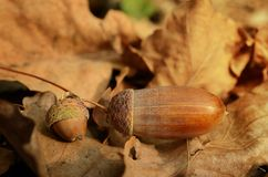 Acorns on the dead leaf in autumn Stock Photo