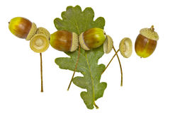 Acorns and dried leaf Stock Photography