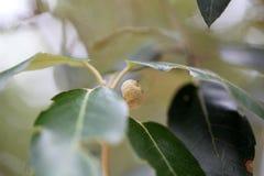Acorns of an evergreen oak Royalty Free Stock Photos