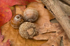 Acorns and Fall Leaves. In Autumn Royalty Free Stock Image