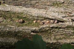 Acorns on fallen log Royalty Free Stock Images
