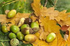 Acorns on foliage Stock Photography