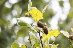 Acorns in the foliage of oak Stock Image
