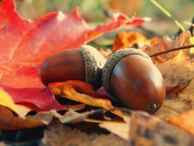 Acorns in the forest. Nature leaves maple oak background outdoor autumn Stock Image