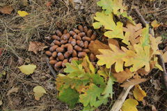 Acorns in the forest Stock Photo