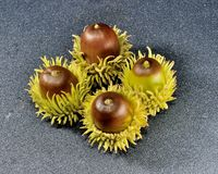Acorns. Four curly topped acorns  with a black specialized background Stock Images