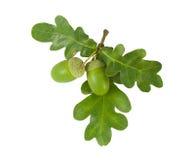 acorns gałąź odosobniony dębowy biel obraz stock