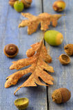Acorns and Garry Oak leaves Royalty Free Stock Image