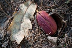 Acorns germinate in the forest. In the spring Stock Photography
