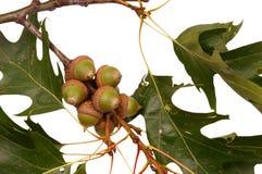 acorns grashopper Fotografia Royalty Free