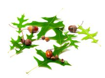 Acorns and green leafs of oak (Quercus palustris) Royalty Free Stock Photos