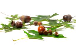 Acorns and green leafs of oak Royalty Free Stock Photography