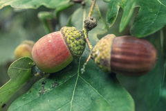 Acorns and green leaves Stock Photo