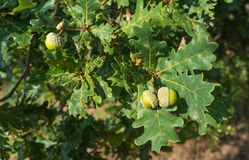 Acorns growing at an oak tree in summer Stock Photos