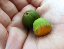 Acorns in hand. Two green acorns nestled in a palm Royalty Free Stock Images