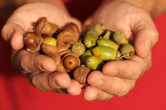 Acorns in hands. Acorns in hends on red background Stock Images