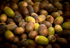 Acorns heap. Stock Photography