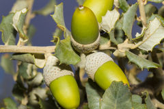 Acorns. On a holm oak Stock Image
