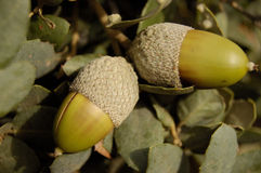 Acorns on a holm oak branch. Two acorns on a holm oak branch Stock Photo