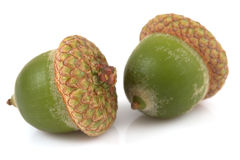 Acorns on isolated Stock Images