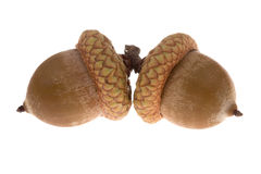 Acorns isolated Royalty Free Stock Photo