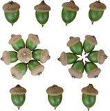 Acorns. Isolated acorns of oak on white background Stock Photography