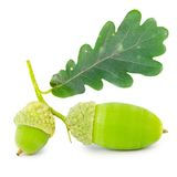 Acorns isolated Stock Photography