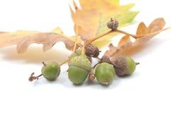 acorns jesień pojęcie Zdjęcie Royalty Free