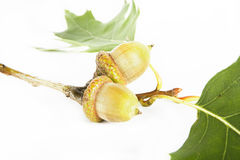 Acorns with leaf Royalty Free Stock Images