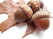 Acorns on a leaf background Royalty Free Stock Images