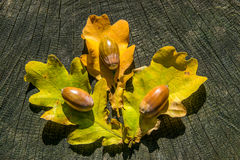Acorns and leaf with wood background Royalty Free Stock Photos