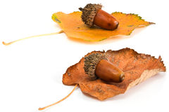 Acorns and leafs Royalty Free Stock Images