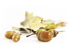 Acorns and leafs Stock Image