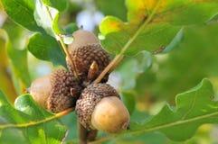 Acorns with leaves. Three acorns on fresh green twig Stock Image
