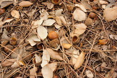 Acorns and leaves Royalty Free Stock Image