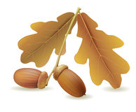 Acorns with leaves Royalty Free Stock Images