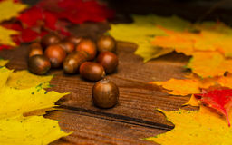 Acorns among leaves Royalty Free Stock Photography