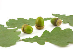 Acorns and leaves of oak Stock Photo