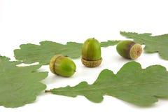 Acorns and leaves of oak Stock Photo
